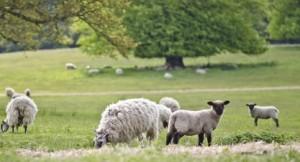 Lamb 1 - Version 2